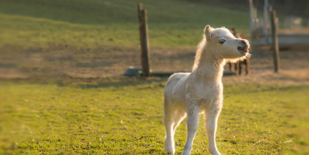 picture of AMHA american miniature foal
